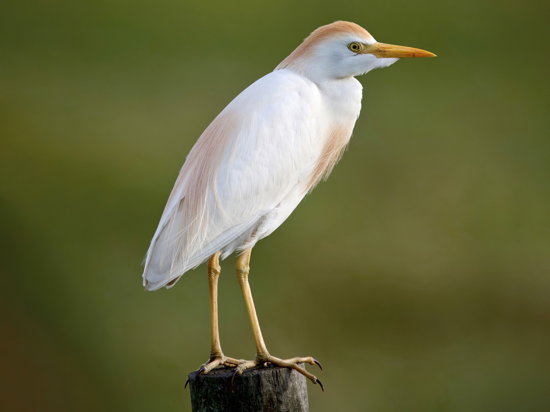 Cattle Egret - Brandon Nidiffer