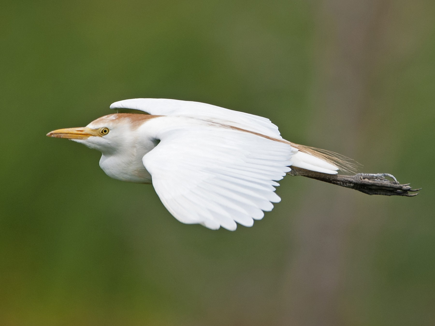 Cattle Egret - Andrew Simon