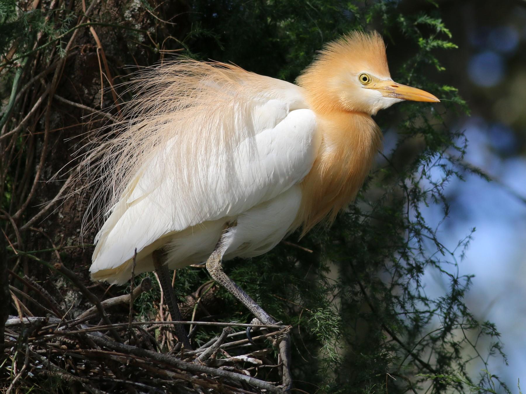 Cattle Egret - Hans Wohlmuth