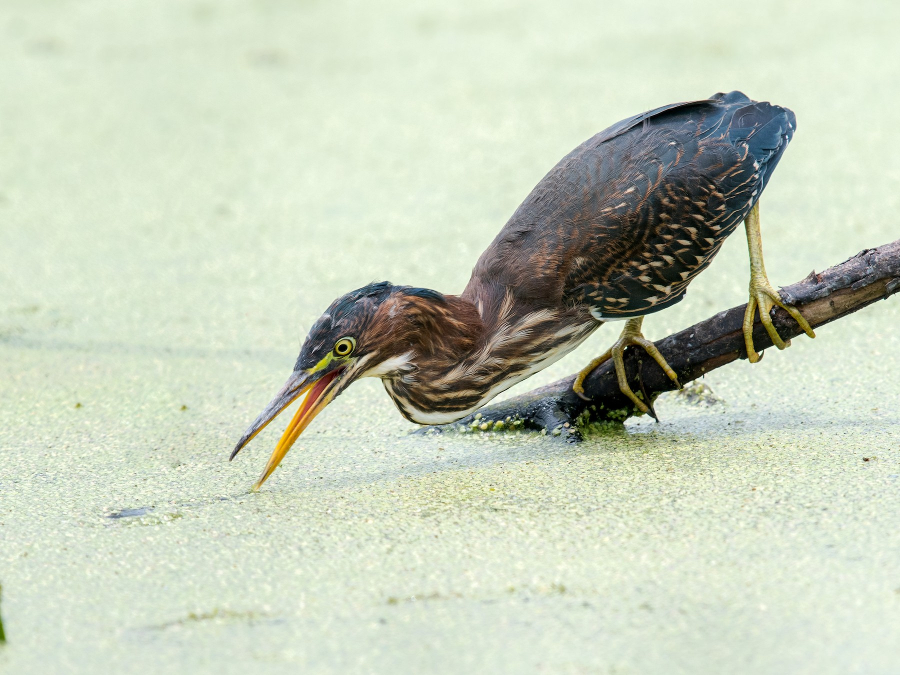 Green Heron - Melissa James