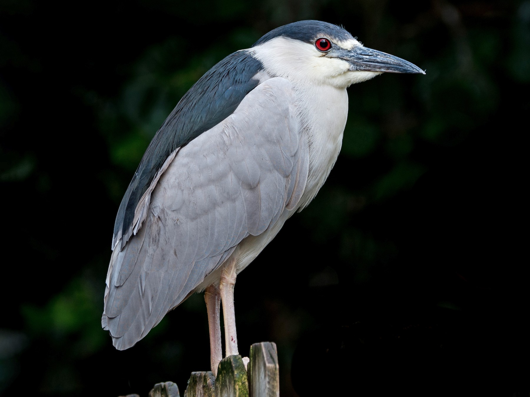 Black-crowned Night-Heron - Melissa James