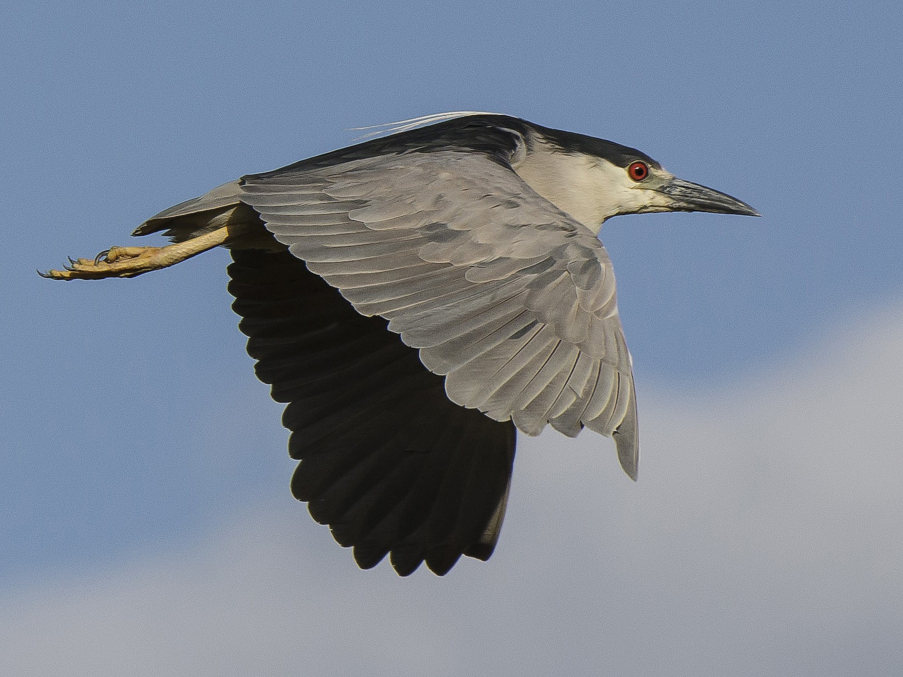 Black-crowned Night-Heron - Ignacio Zapata