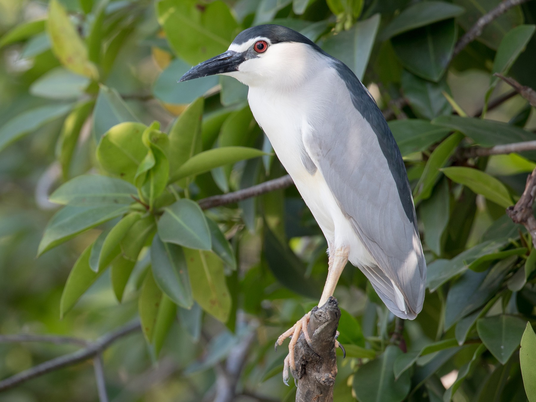 Black-crowned Night-Heron - Ian Davies