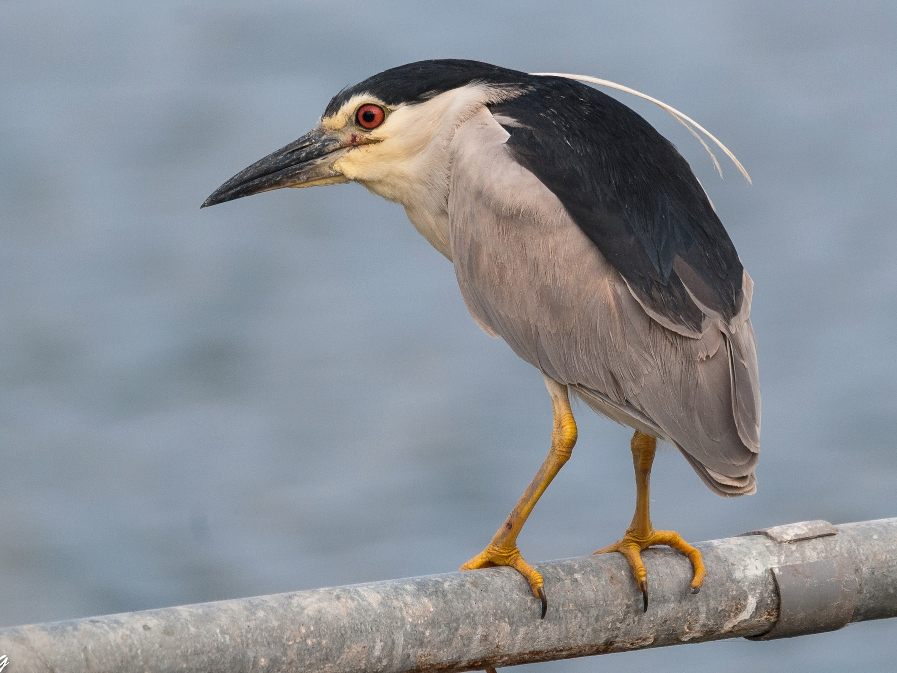 Black-crowned Night-Heron - Markus Craig