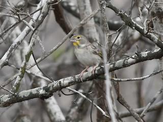 - Sulphur-throated Finch