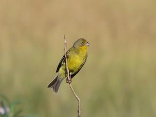 - Grassland Yellow-Finch