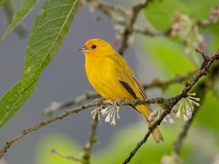 - Saffron Finch