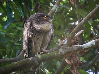 - Brown Fish-Owl