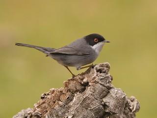 - Sardinian Warbler