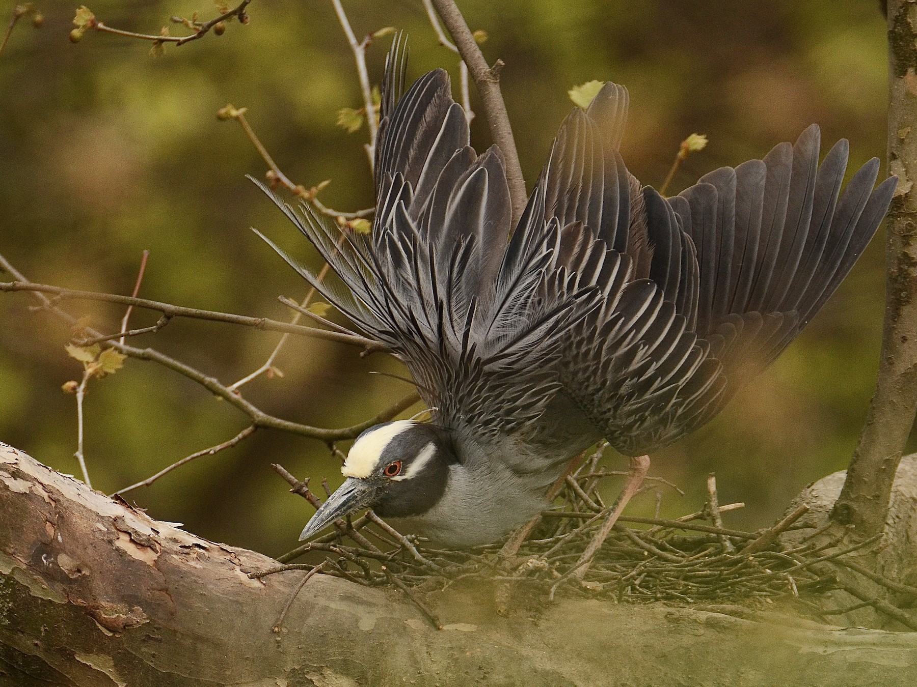 Yellow-crowned Night-Heron - Josephine Kalbfleisch