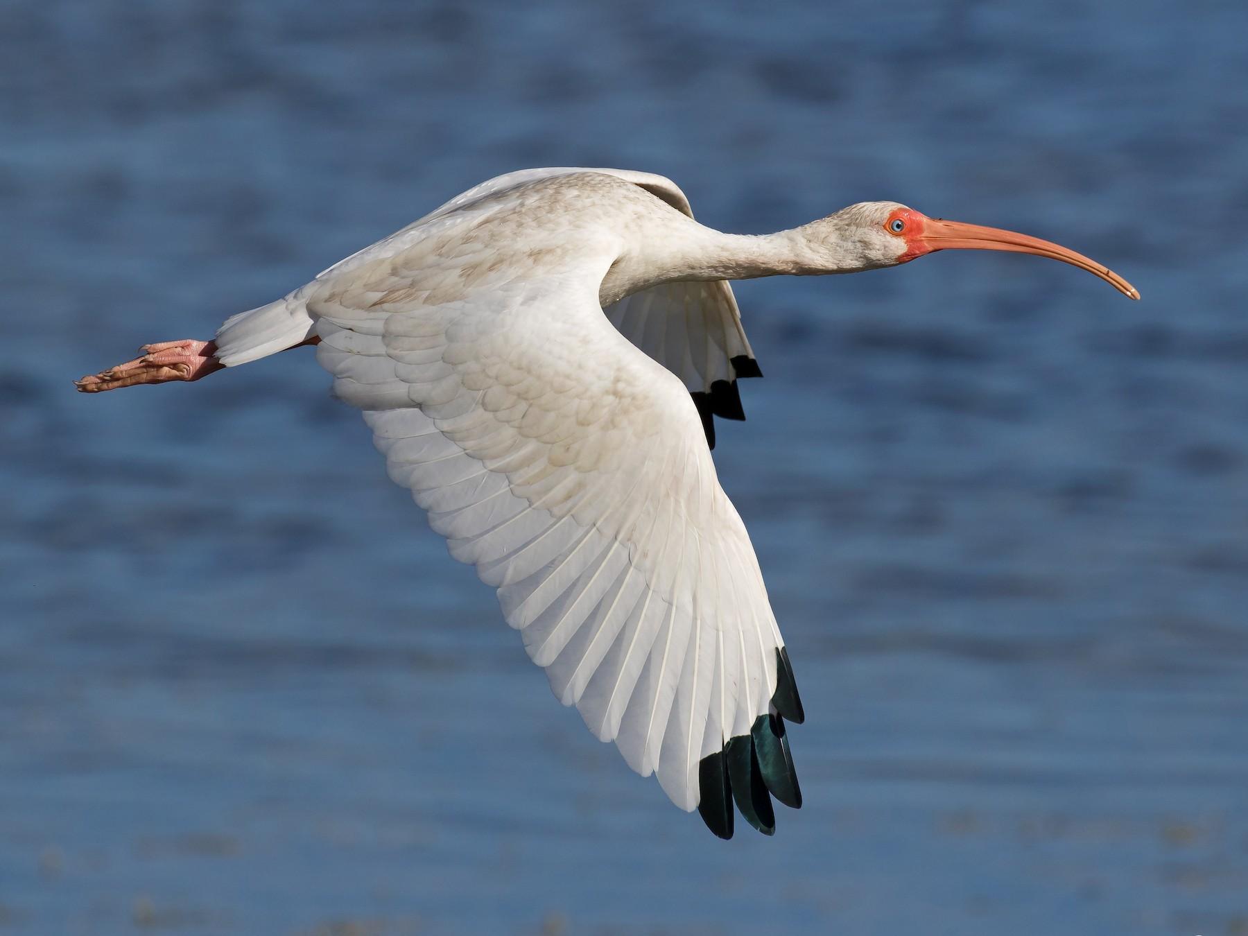 White Ibis - Jon Corcoran