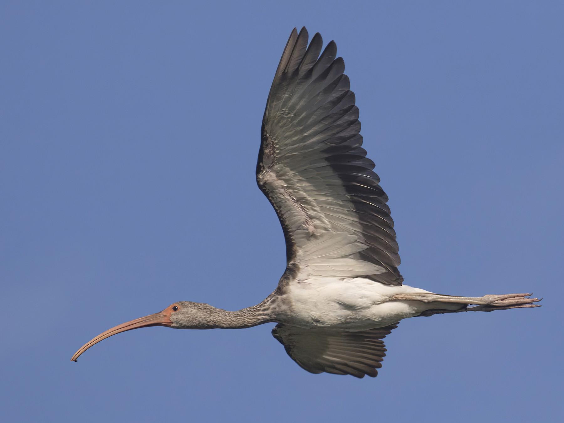 White Ibis - Michael Todd