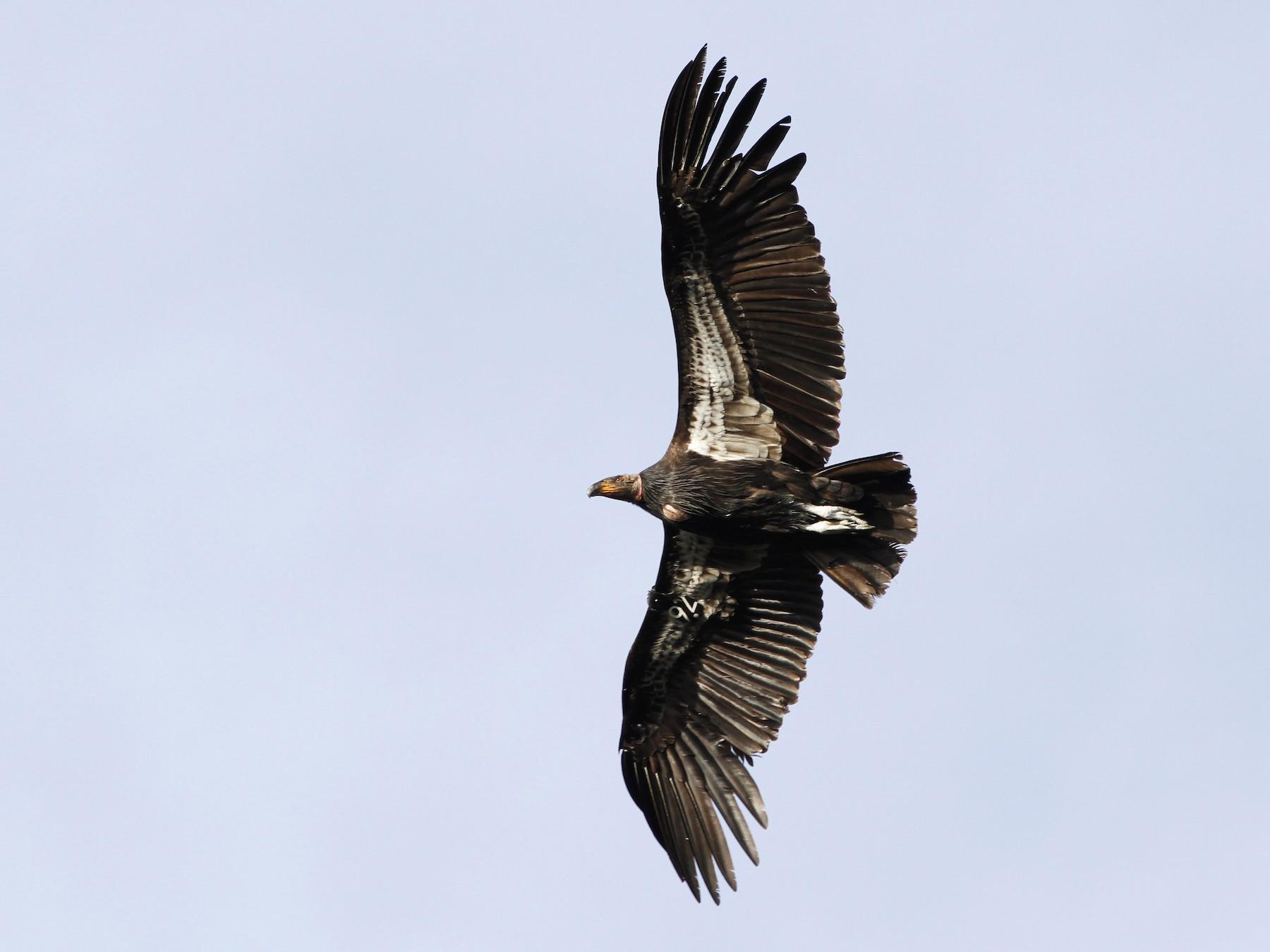 California Condor - Kyle Lima