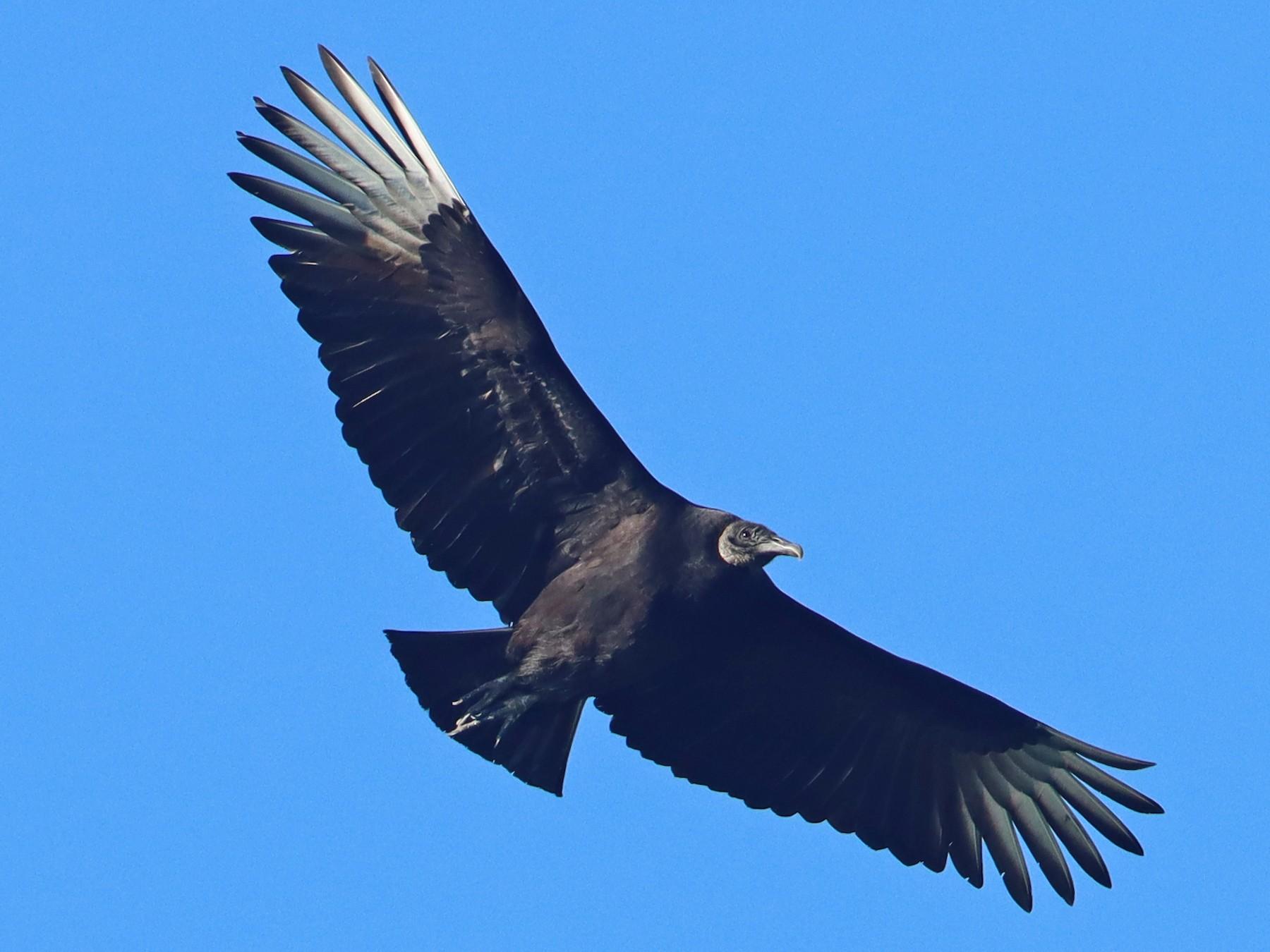 Black Vulture - Luke Seitz