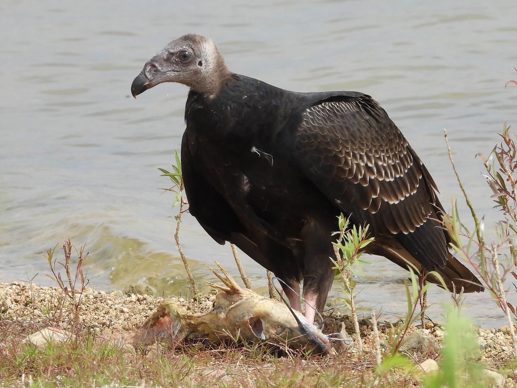 Turkey Vulture - Chris Davis