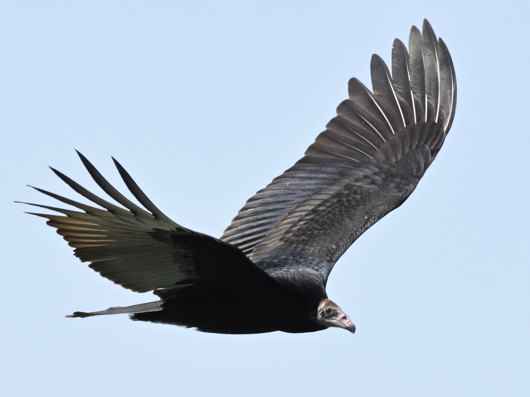 Turkey Vulture - George Gibbs