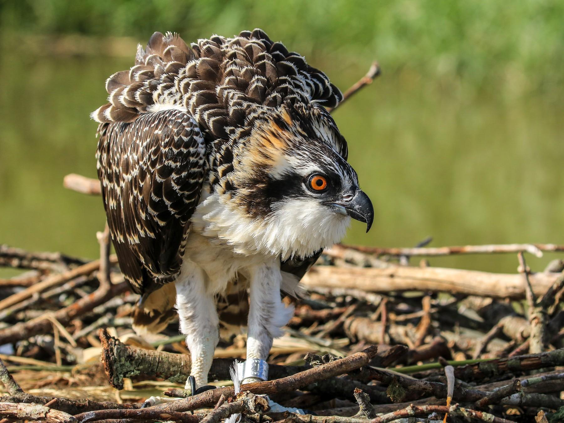 Osprey - Matt Felperin