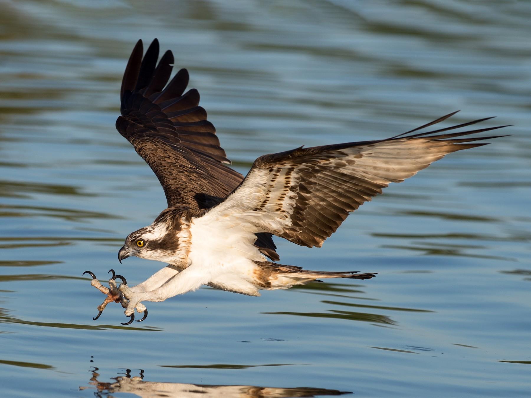 Osprey - Marc FASOL
