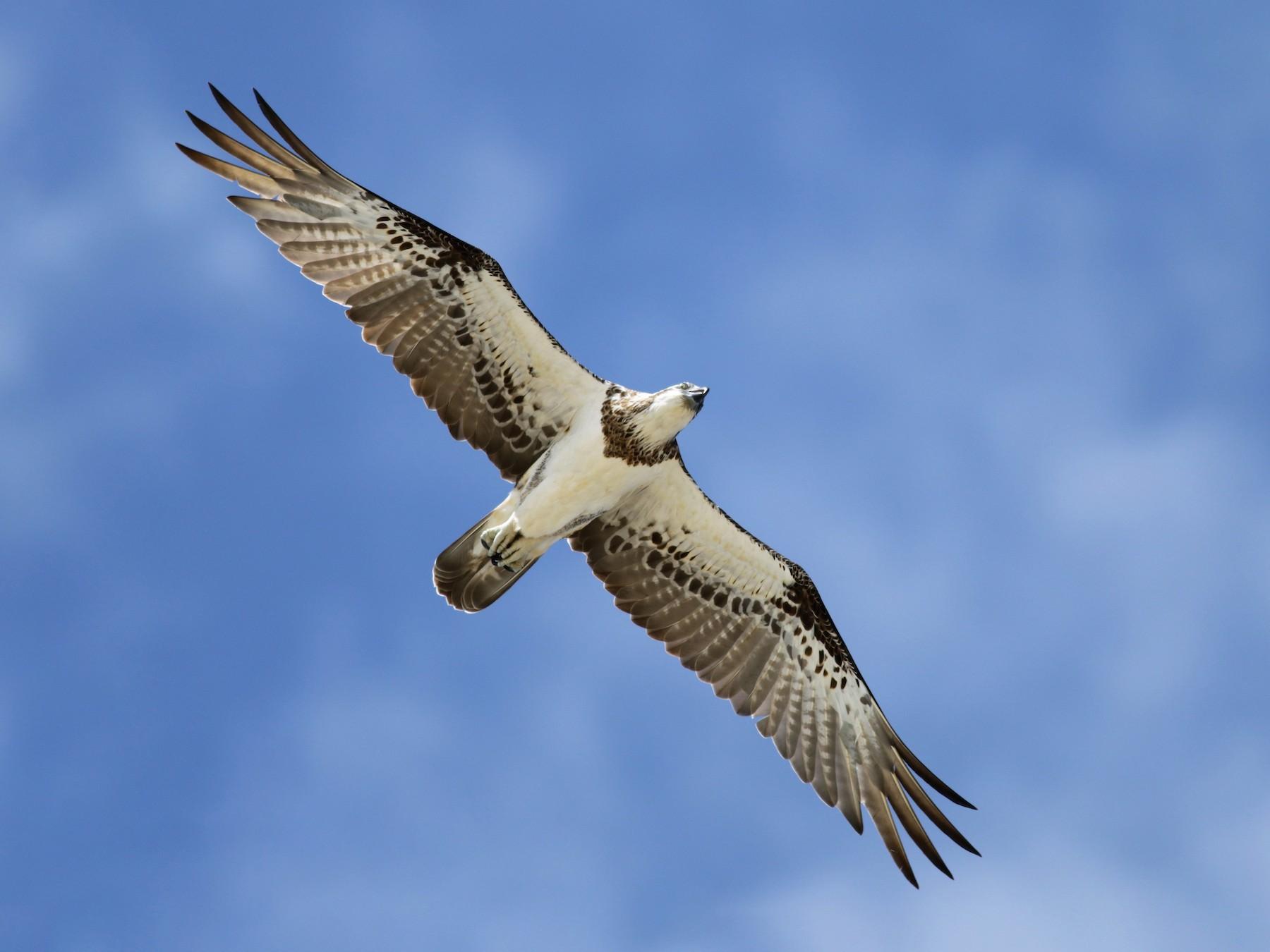 Osprey - Hans Wohlmuth