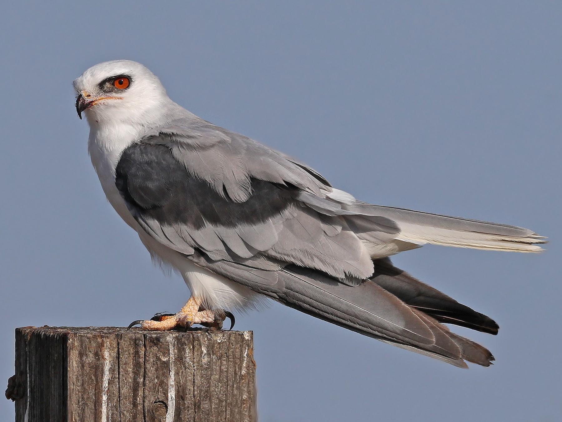 White-tailed Kite - Matt Davis