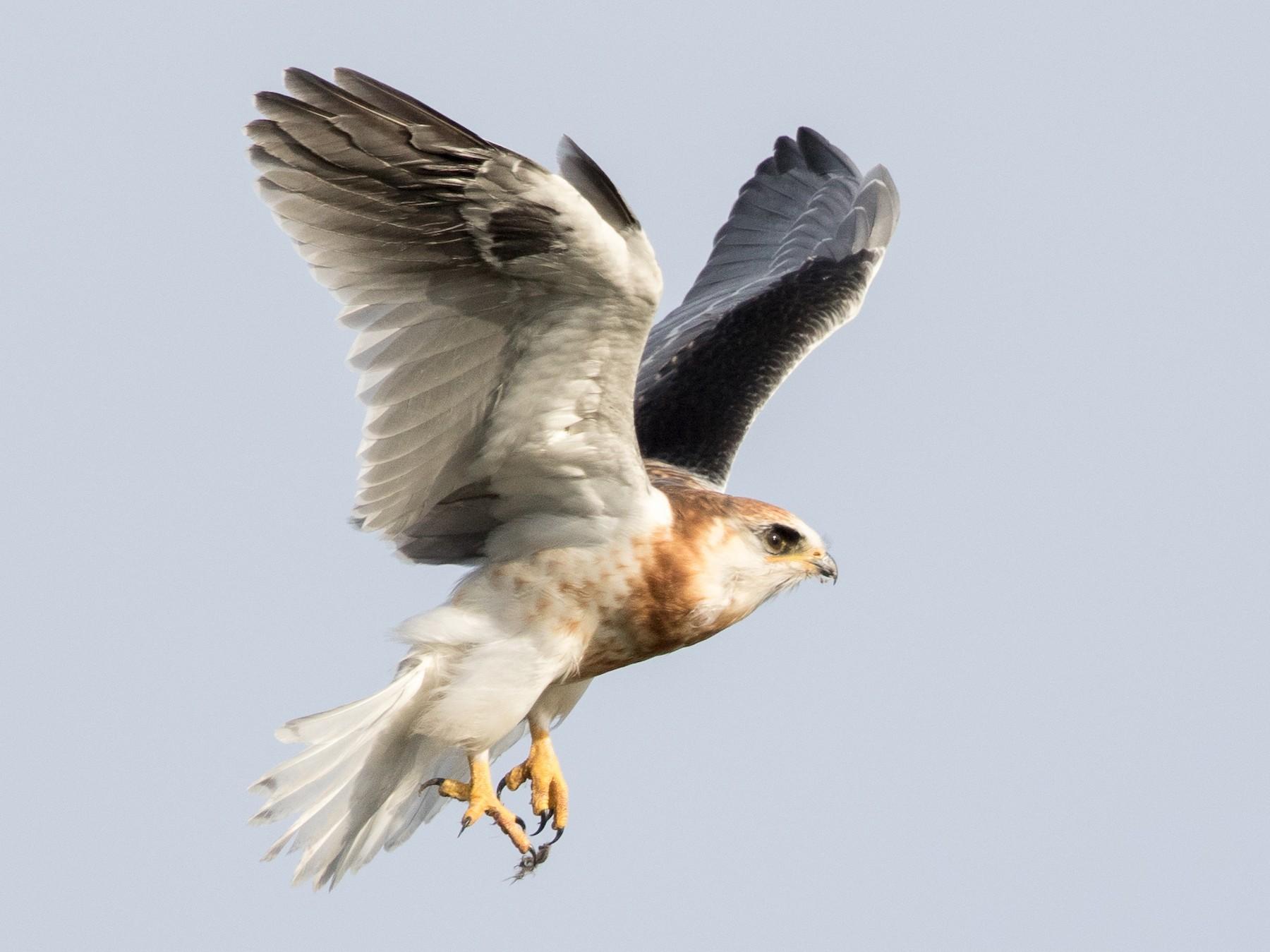White-tailed Kite - Garrett Lau