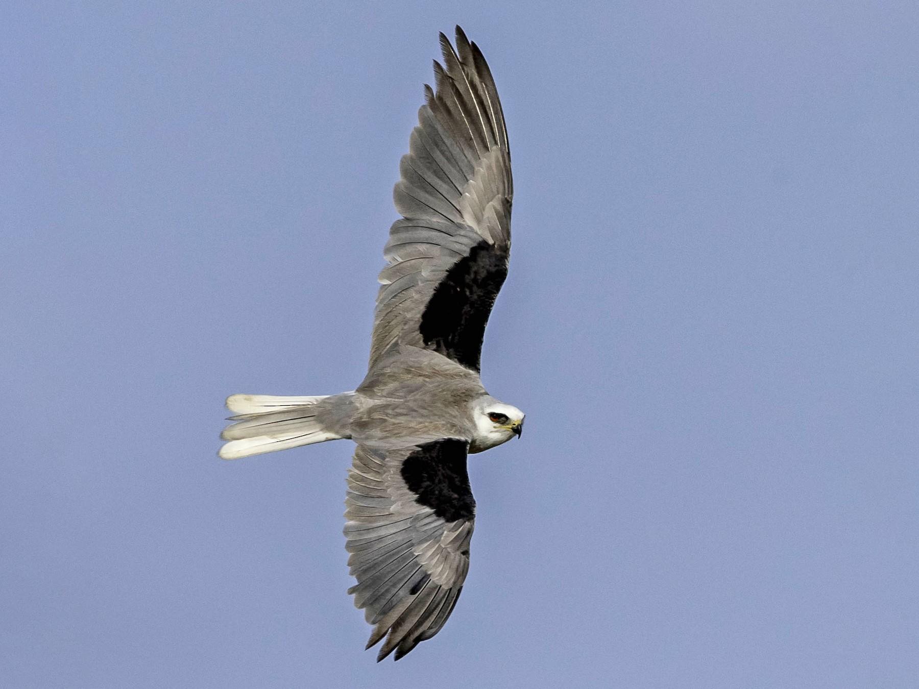 White-tailed Kite - David Hall