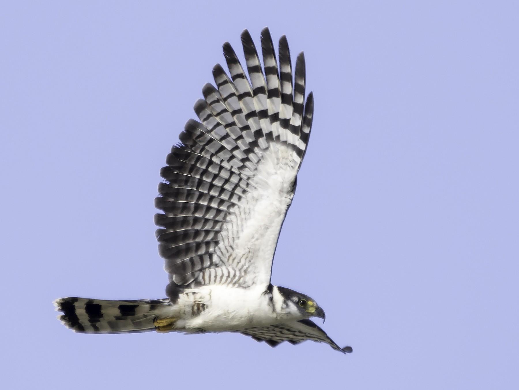 Hook-billed Kite - Jorge Eduardo  Ruano