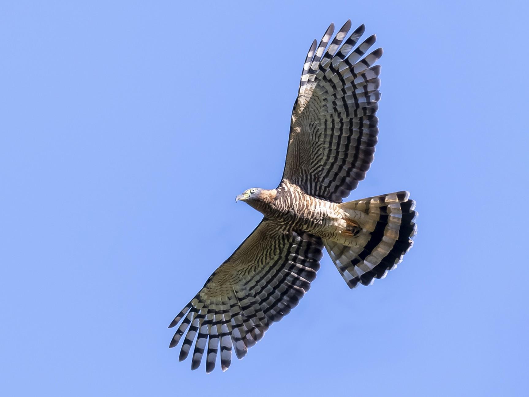 Hook-billed Kite - fernando Burgalin Sequeria