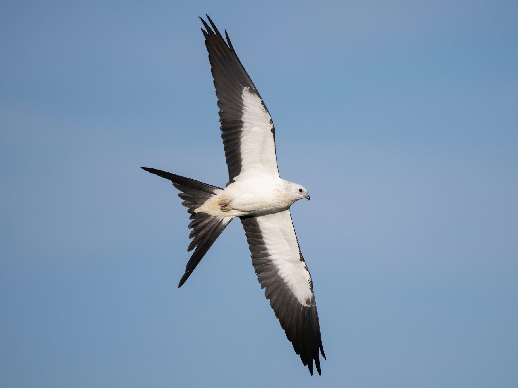 Swallow-tailed Kite - Adam Wilson