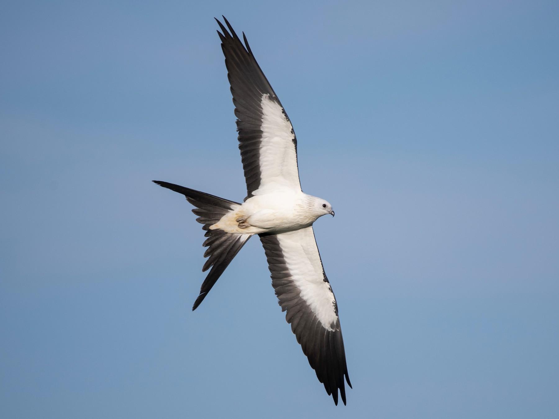 Swallow-tailed Kite - Adam Wilson