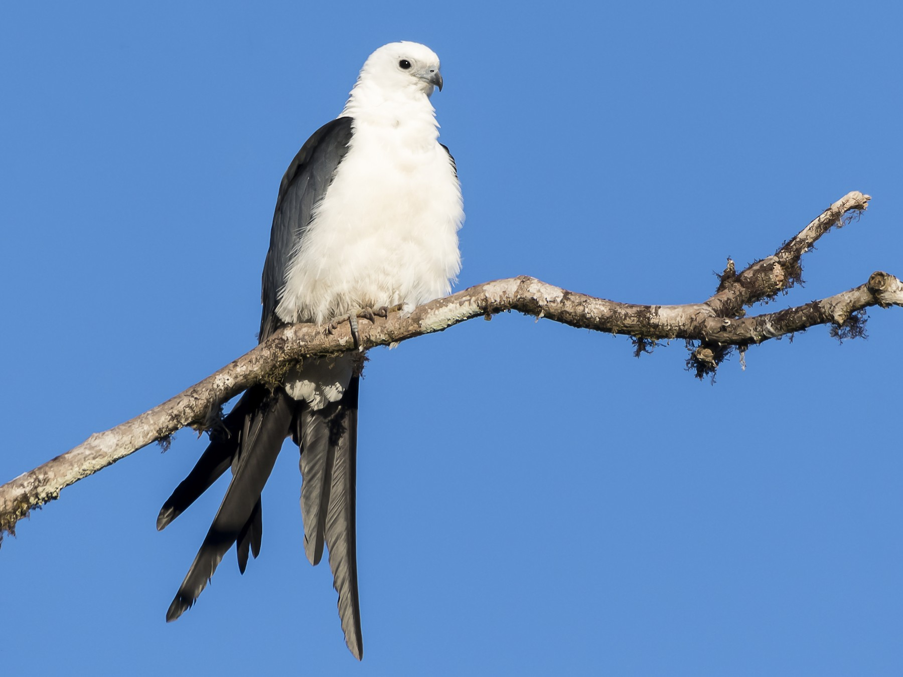 Swallow-tailed Kite - fernando Burgalin Sequeria