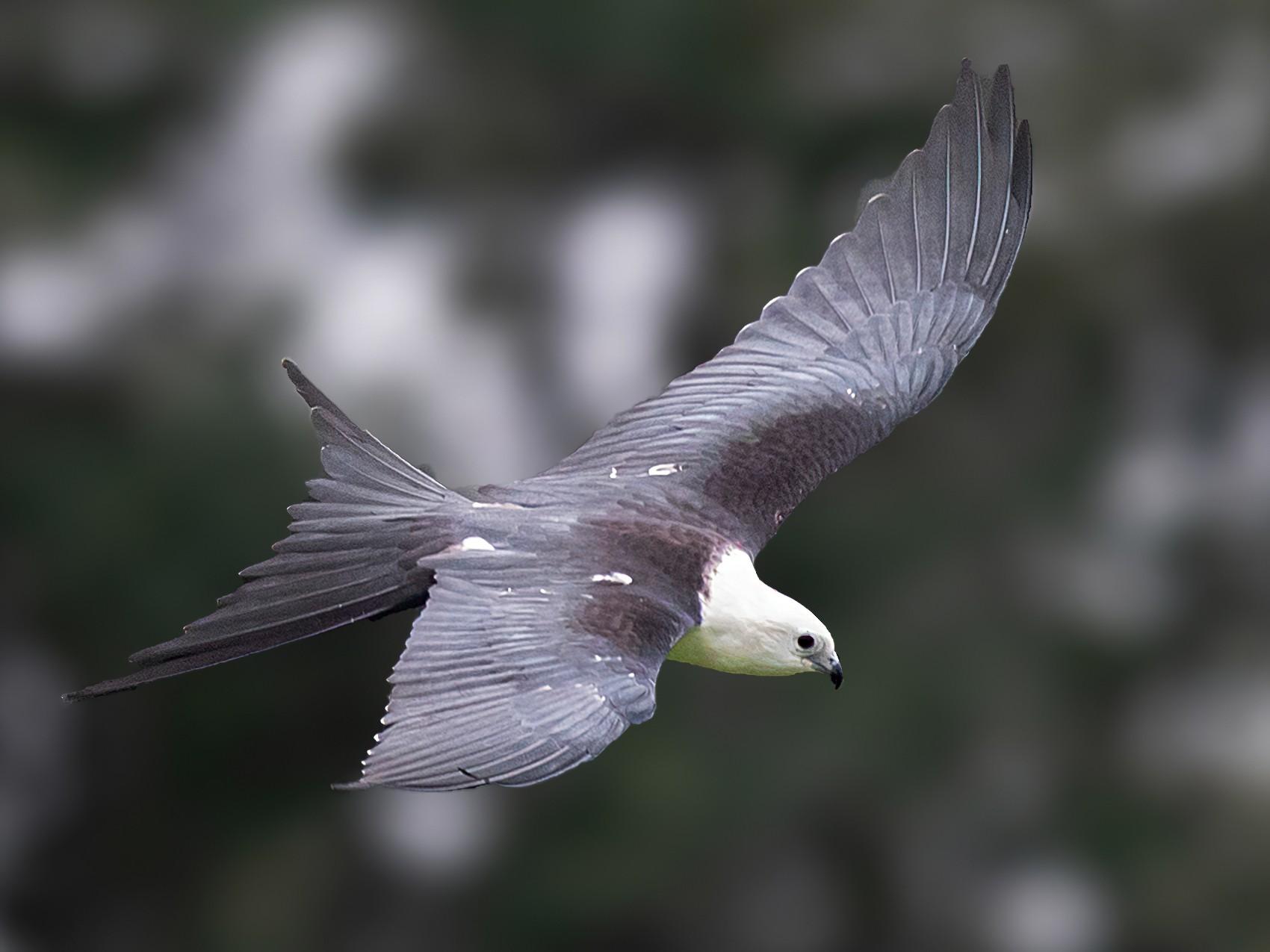 Swallow-tailed Kite - Brad Imhoff
