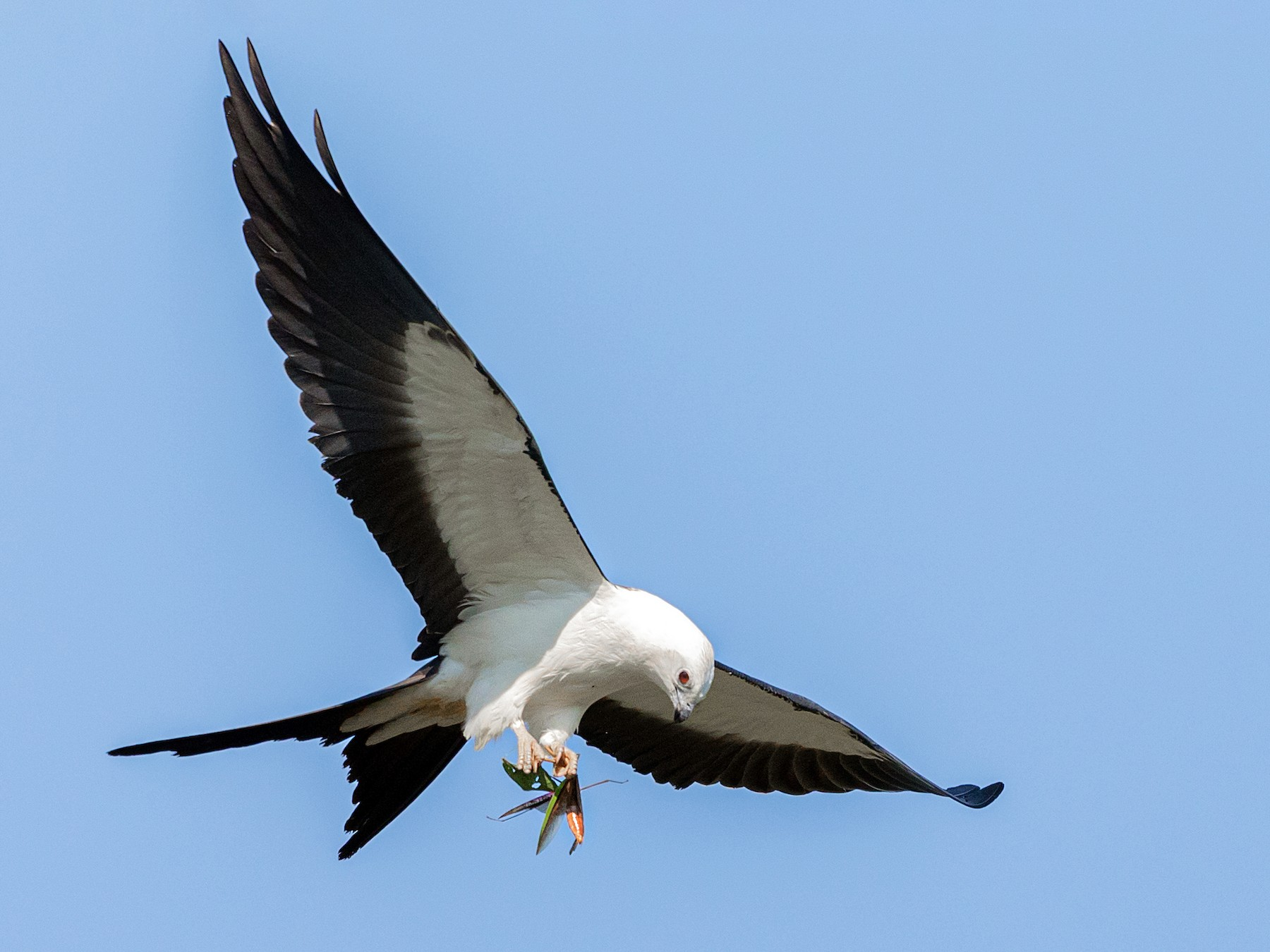 Swallow-tailed Kite - Brad Imhoff