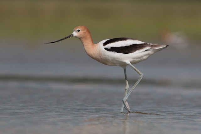 © Joel Strong - American Avocet