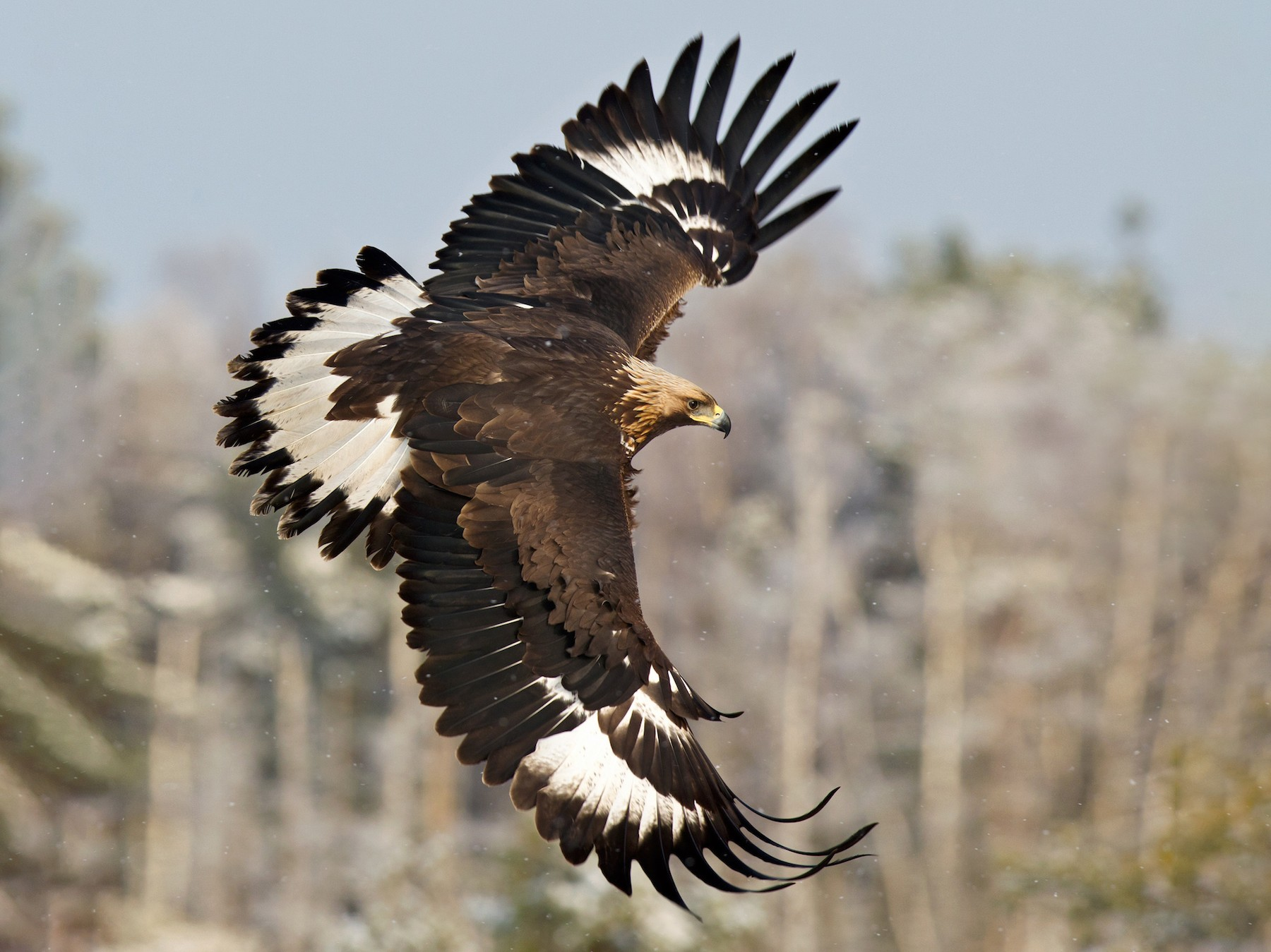 Golden Eagle - Lars Petersson