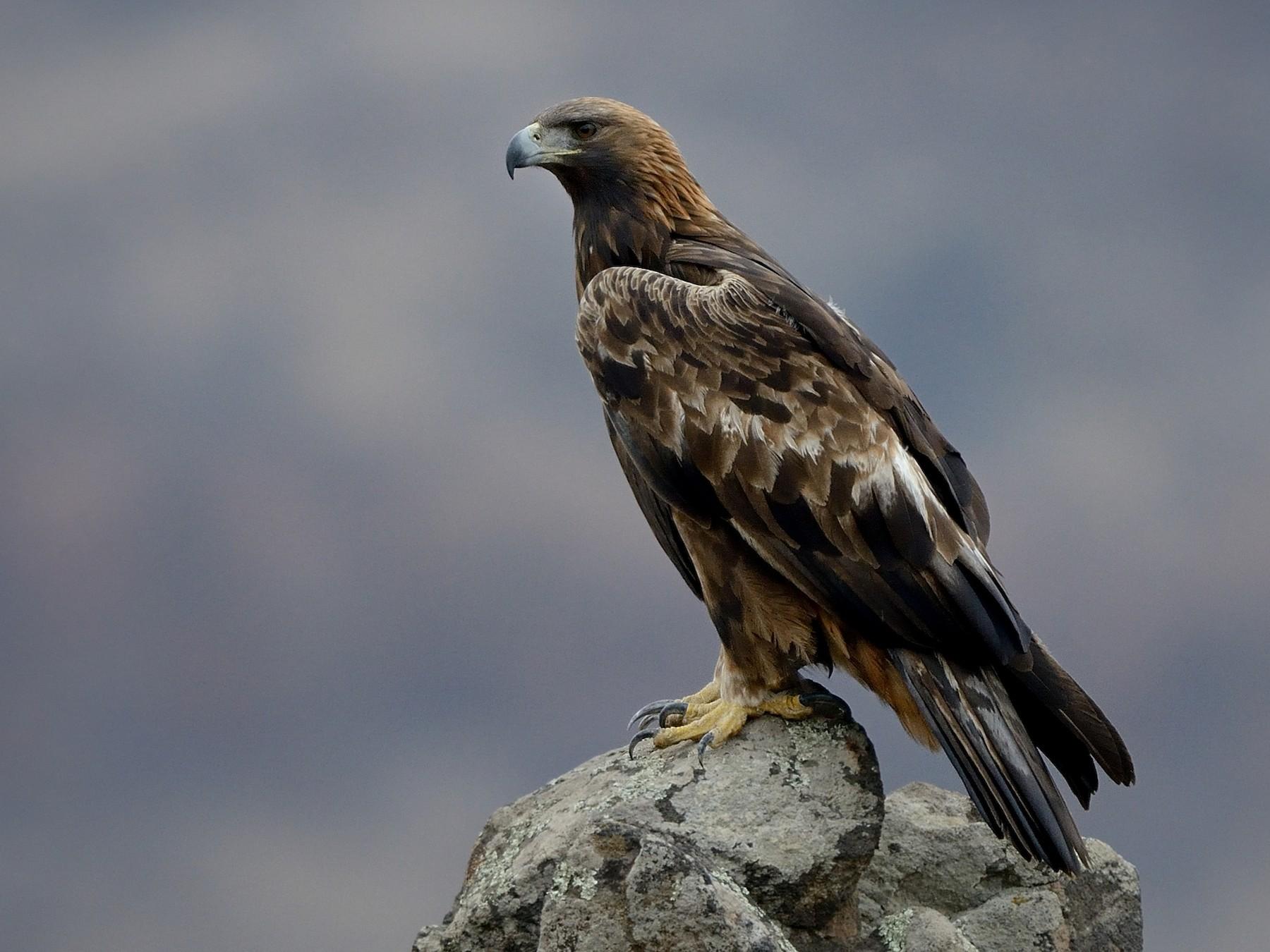 Golden Eagle - Pavel Štěpánek