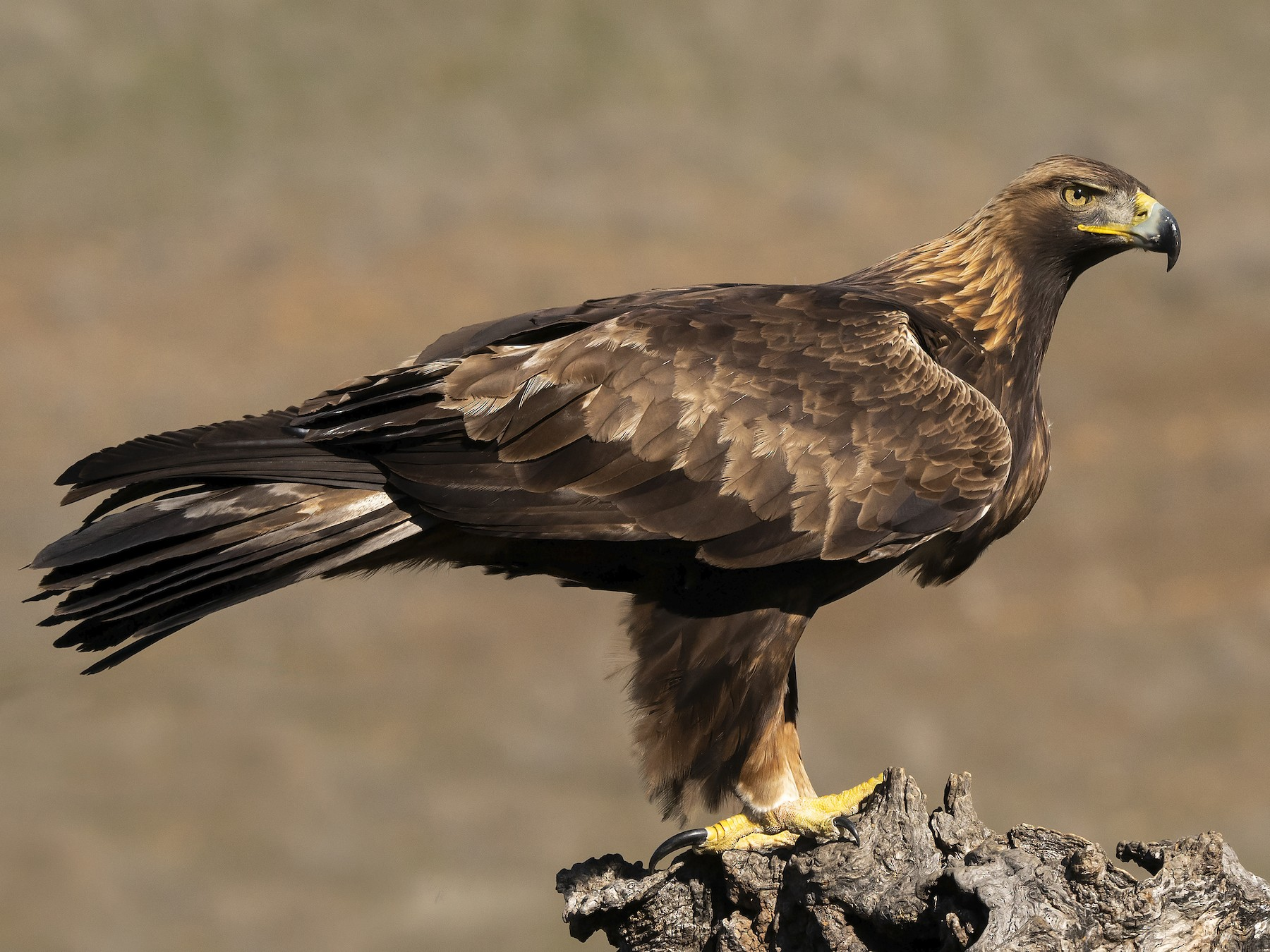 Golden Eagle - Miguel Rouco