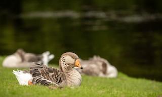 Graylag Goose, ML305419401