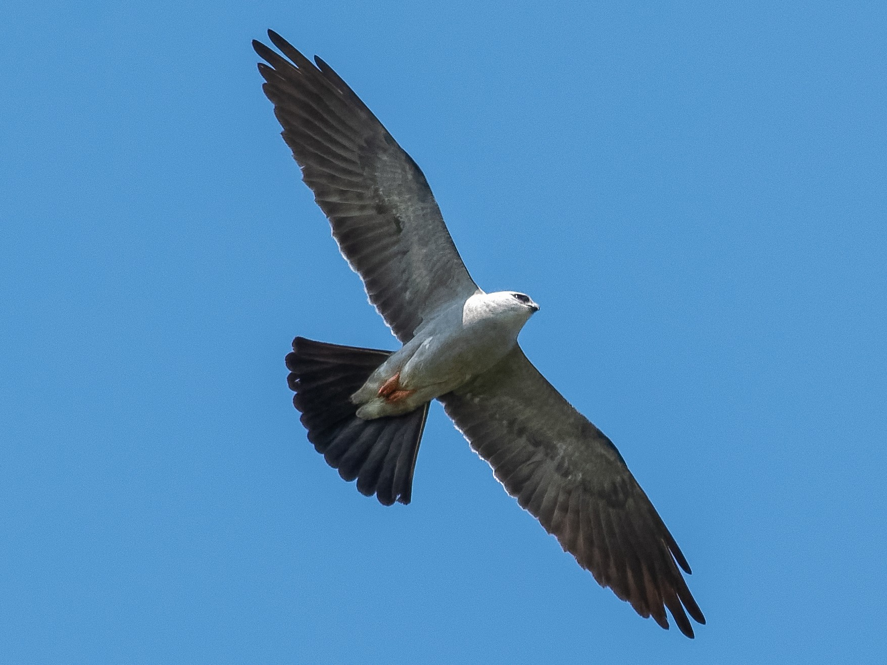 Mississippi Kite - Don Danko