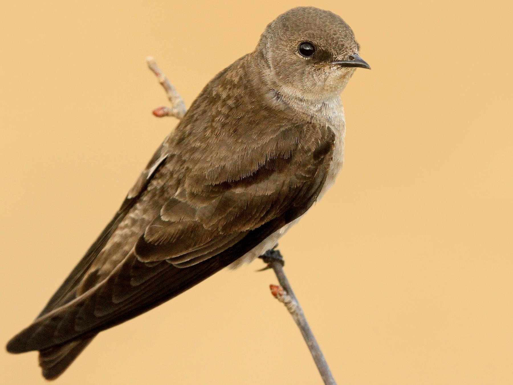 Northern Rough-winged Swallow - Ryan Schain