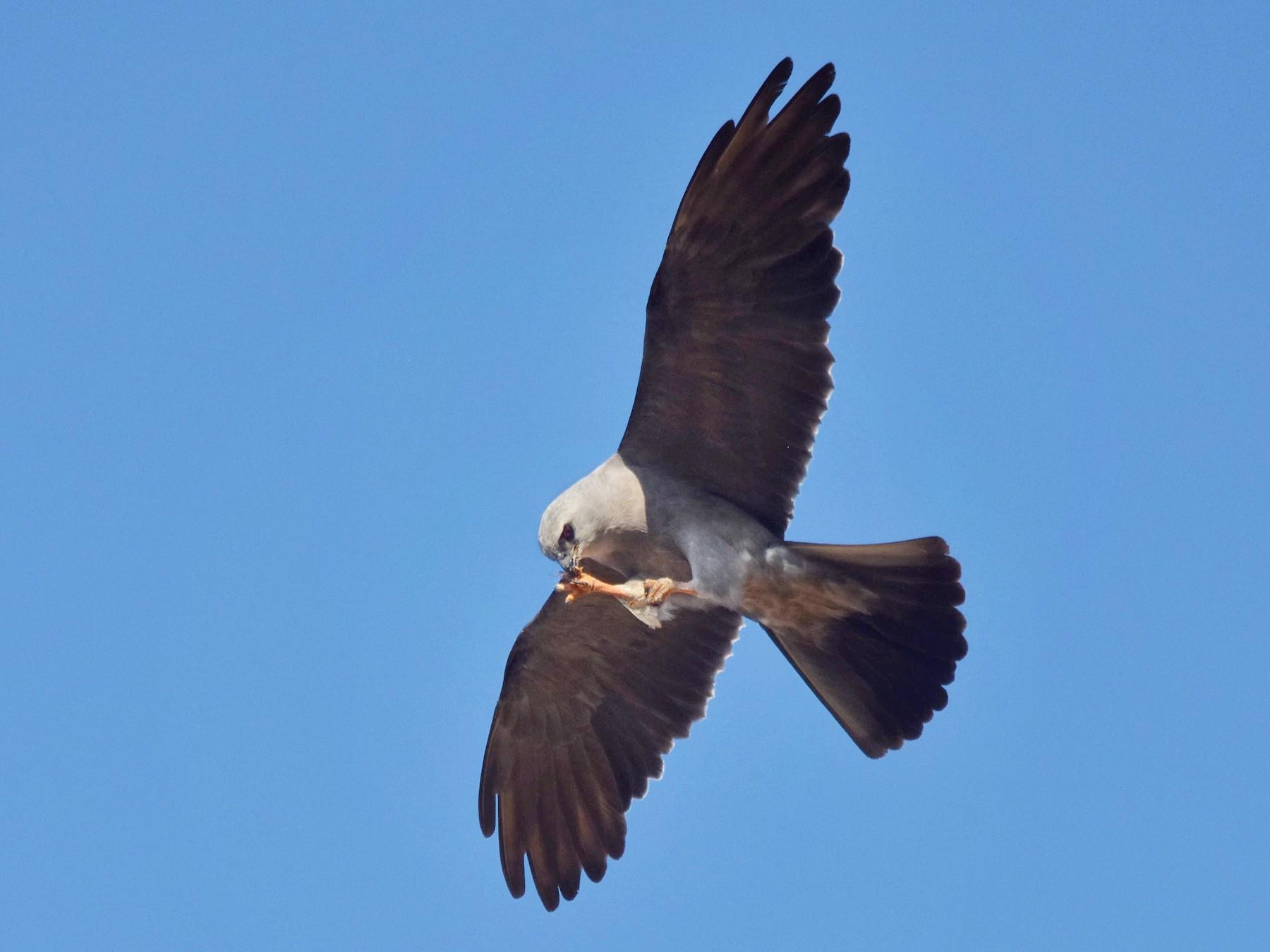 Mississippi Kite - Marky Mutchler