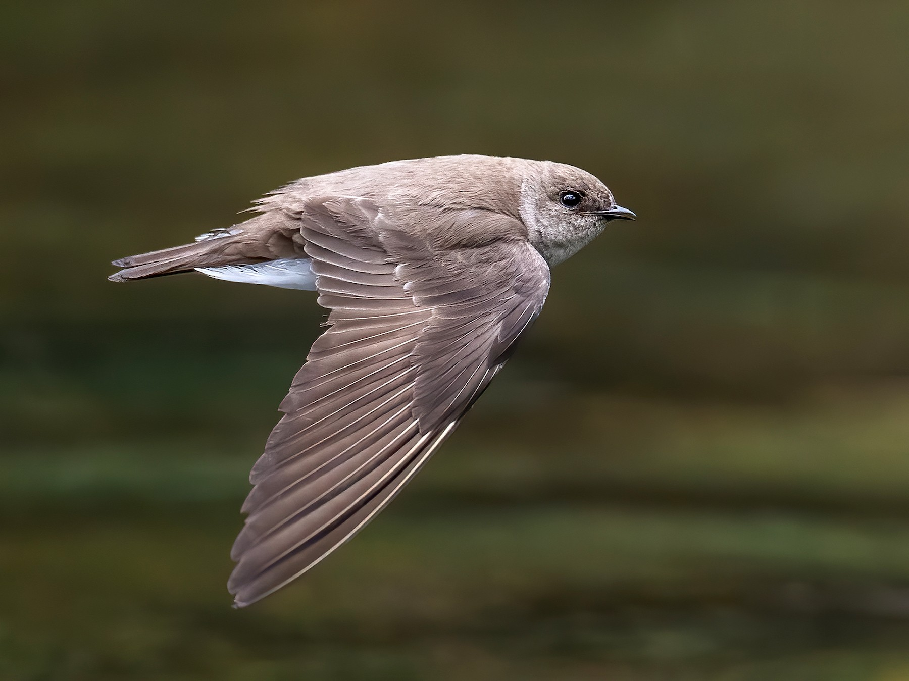 Northern Rough-winged Swallow - Ryan Sanderson