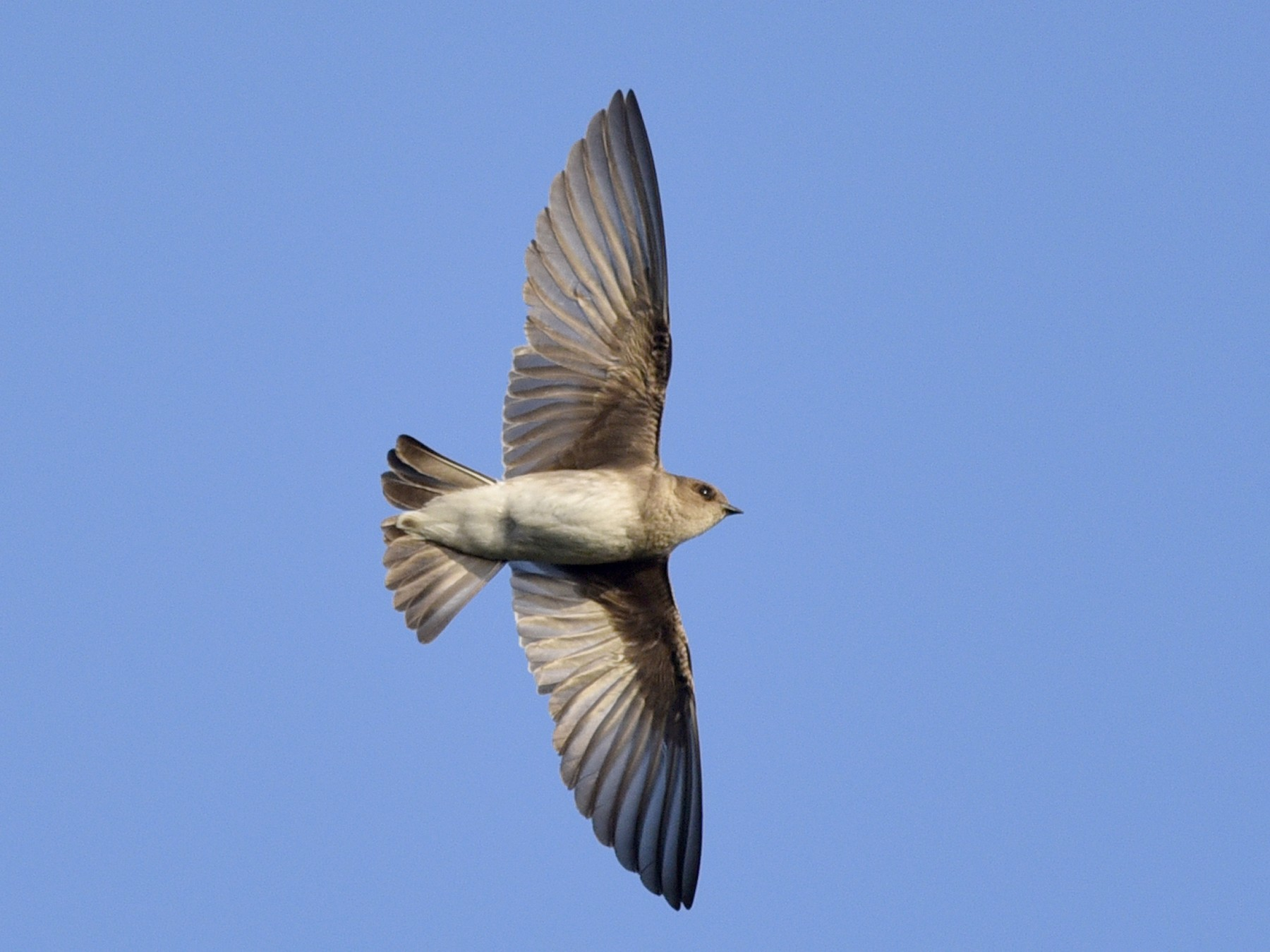 Northern Rough-winged Swallow - Daniel Irons