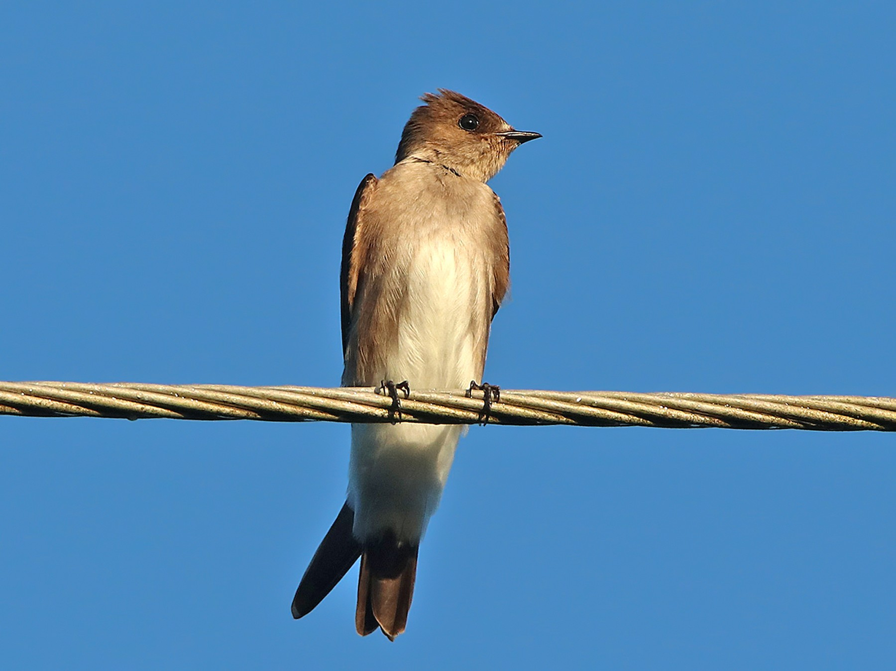 Northern Rough-winged Swallow - Tim Avery