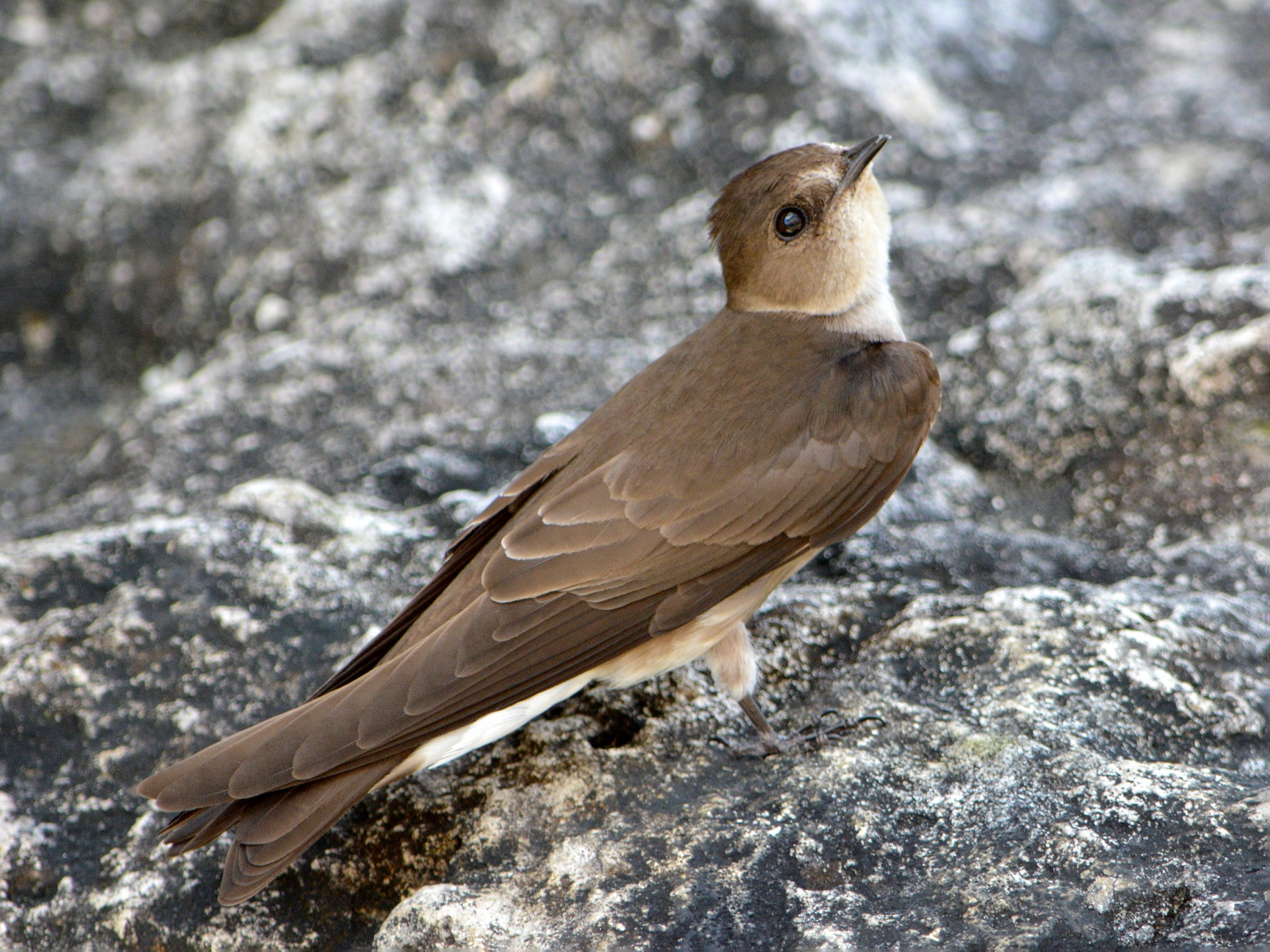 Northern Rough-winged Swallow - Jorge Dangel