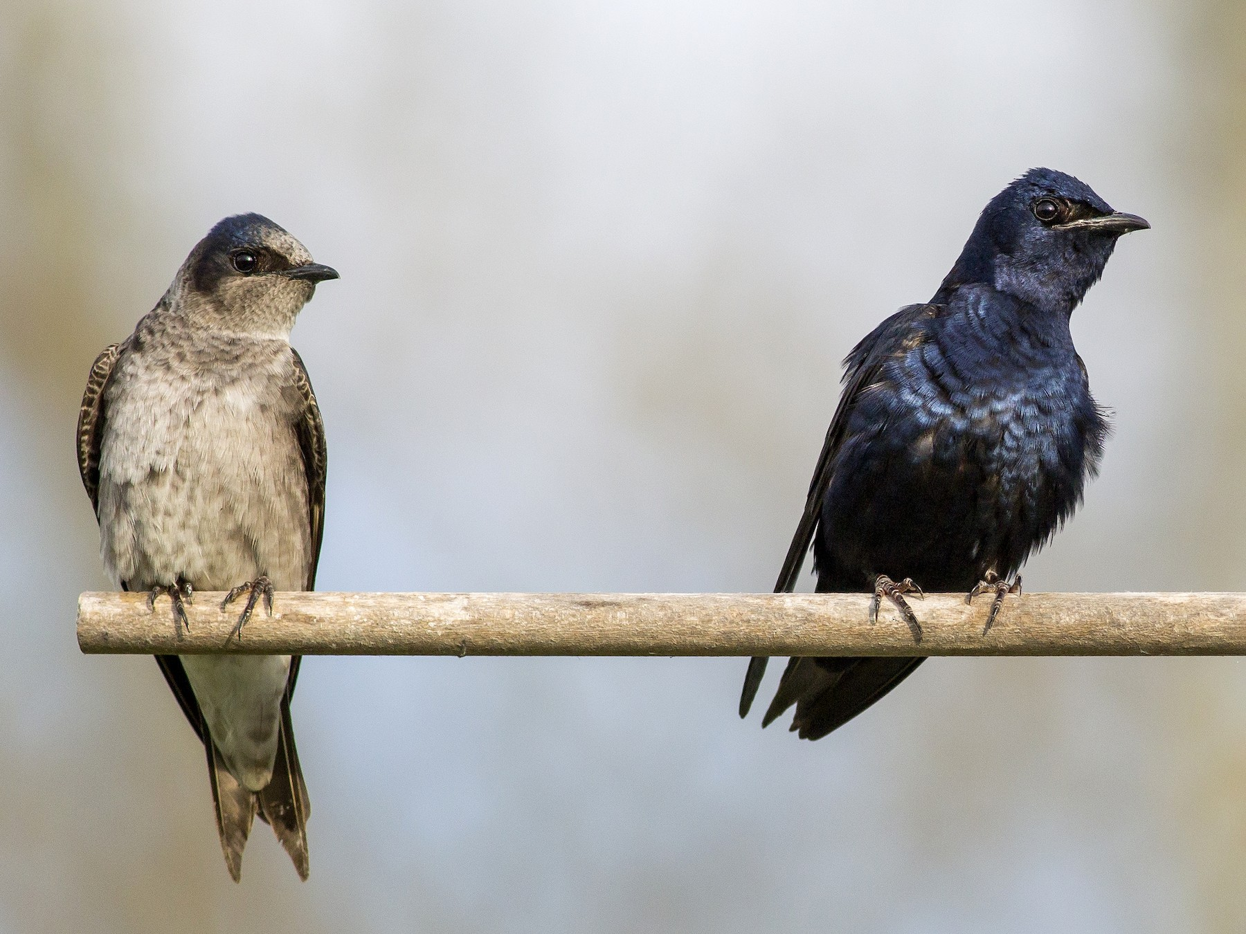 Purple Martin - Alex Eberts