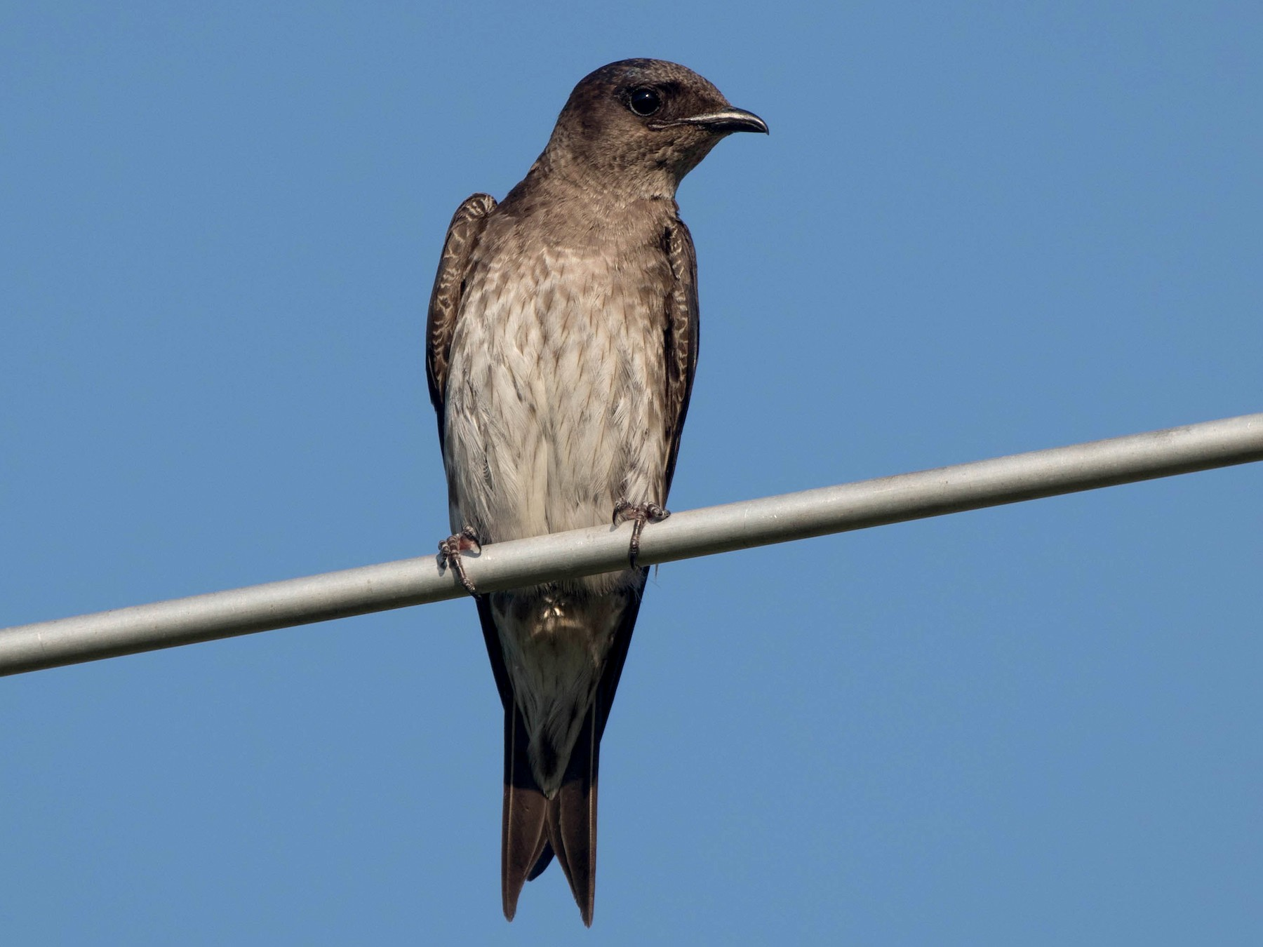 Purple Martin - Nick Dorian