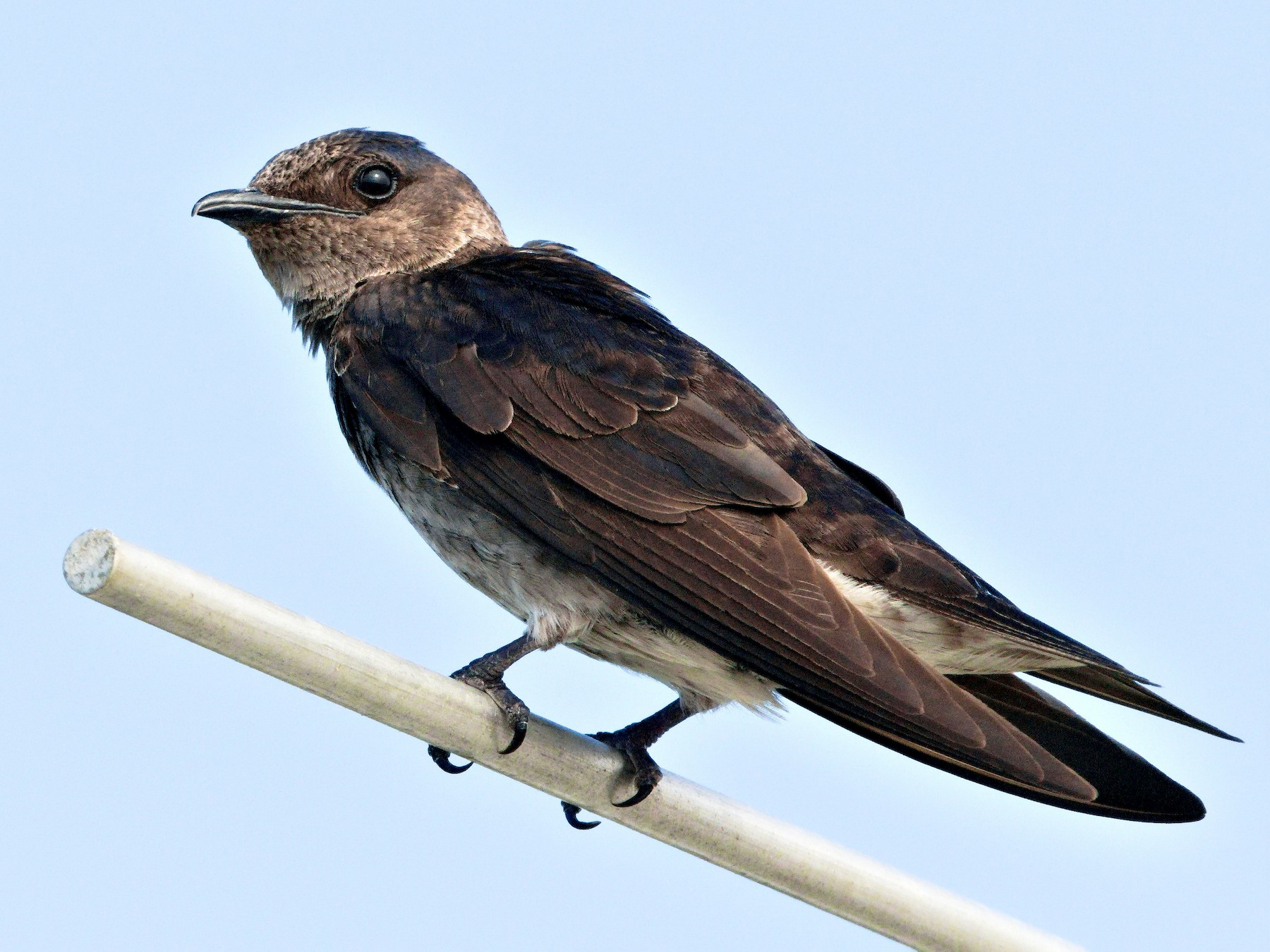 Purple Martin - Sam Zhang