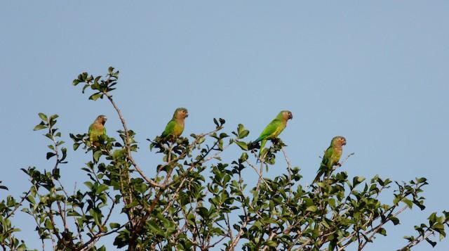 Brown-throated Parakeet (Brown-throated)