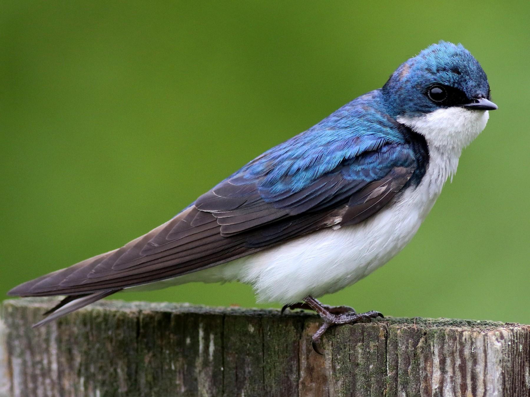 Tree Swallow - Max Nootbaar